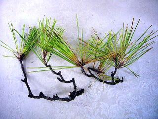 松の葉のサンプル1