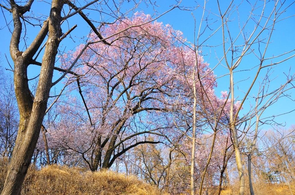 武田の杜 春の江戸彼岸桜