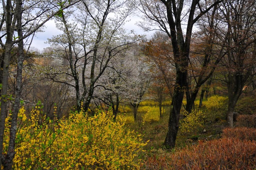 武田の杜 桜とレンギョウの饗宴