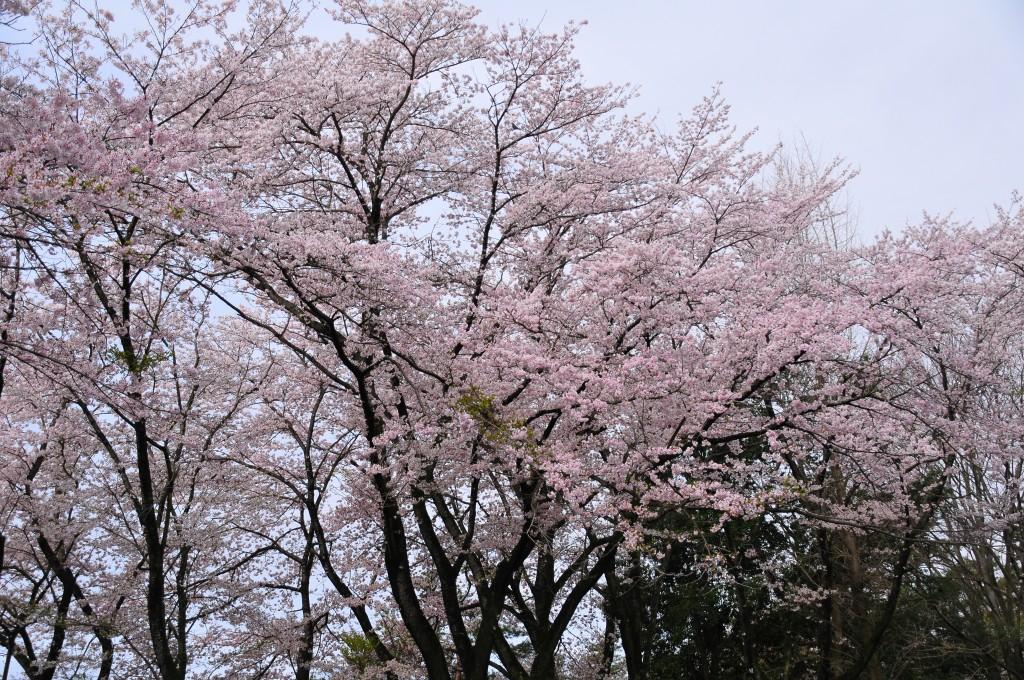 武田の杜 満開の桜